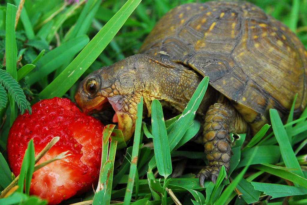 Baby turtle loves eating mashed potato : aww